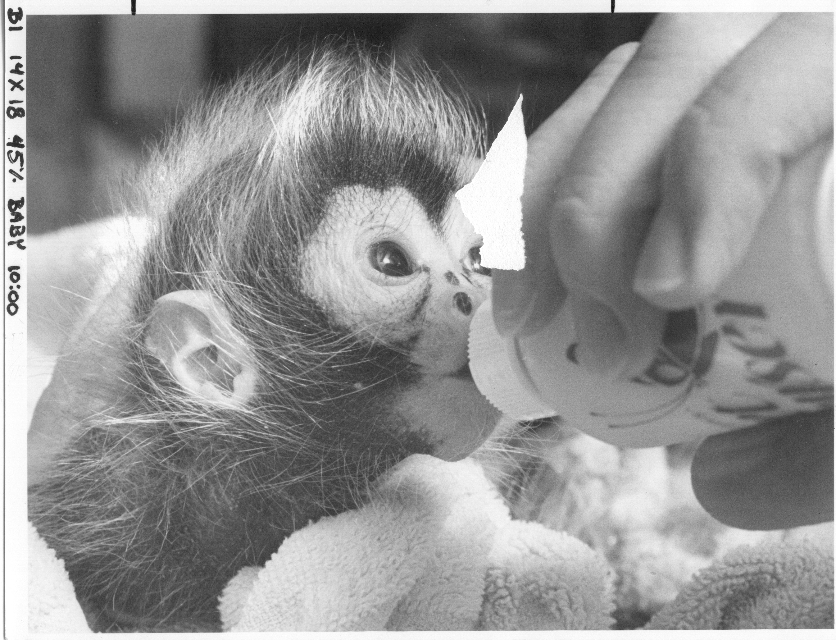 Chiquita spider monkey drinking from  bottle