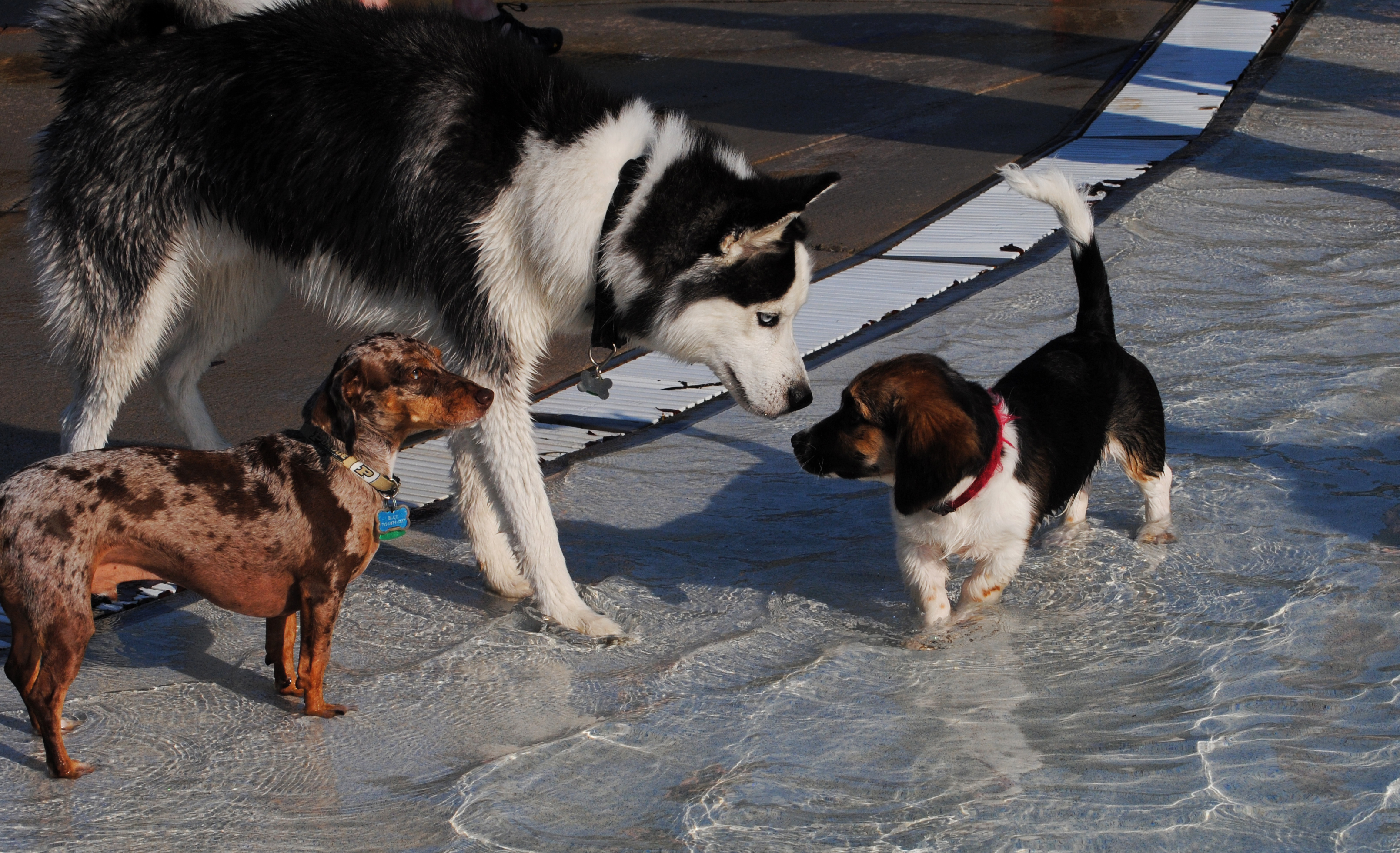 a large dog stands with two small dogs in a pool of water
